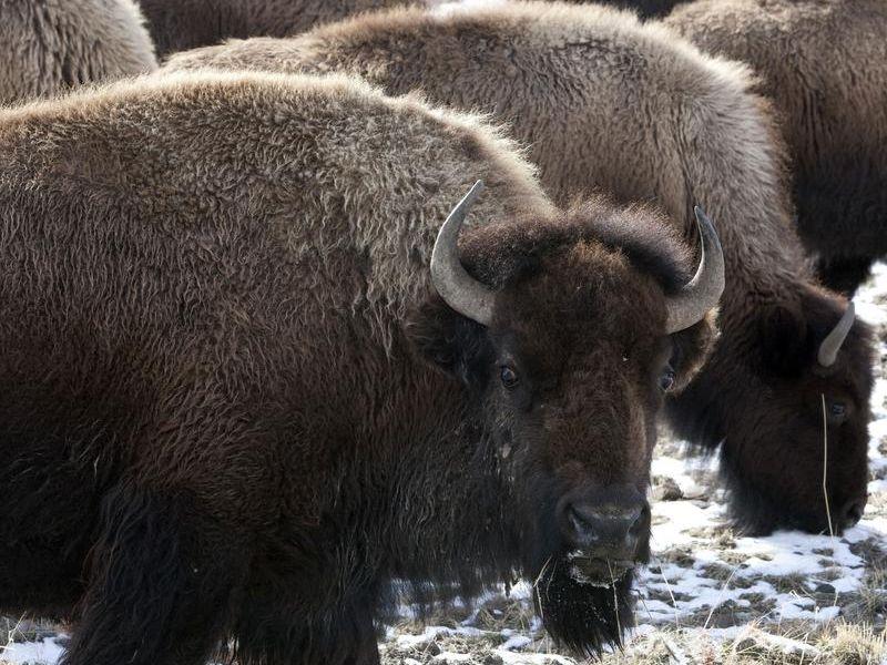 -Bison Relocation_Uda.jpg_20111205.jpg