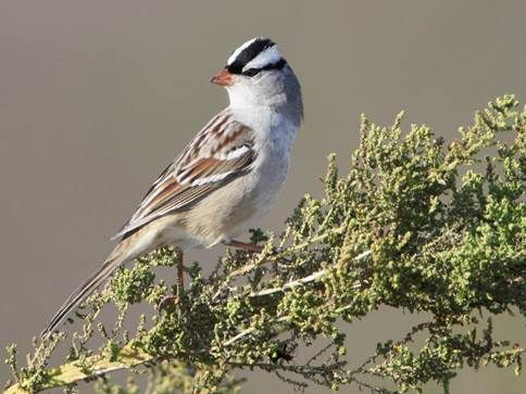 07white crowned sparrow by ronnie maum.jpg
