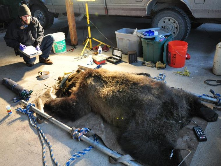 -grizzly immobilized.jpg_20131218.jpg